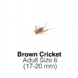 Banded Crickets Adult 1 Tub of 70-80 Size 6    17-20mm