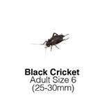 Black Crickets Adult Sack of 1000 Size 6 25-30mm