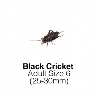 Black Crickets Adult 1 Tub of 30-35 Size 6 25-30mm