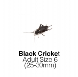 Black Crickets Adult Sack of 500 Size 6 25-30mm
