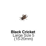 Black Crickets Large Sack of 1000 Size 5 15-20mm
