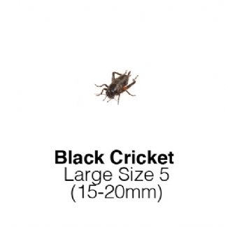 Black Crickets Large 1 Tub of 60-70 Size 5 15-20mm