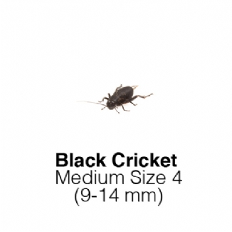 Black Crickets Medium 1Tub of 80-90 Size 4 9-14mm