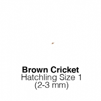Banded Crickets Hatch Tub of 500 Size 1 2-3mm