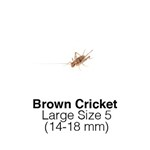 Banded Crickets Large Sack of 1000 Size 5 14-18mm