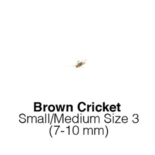 Banded Cricket Sm/Med - MAXIPACK of 350 7-10mm