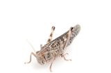 Locusts Adult - MAXIPACK of 12 Size 6 55-70mm