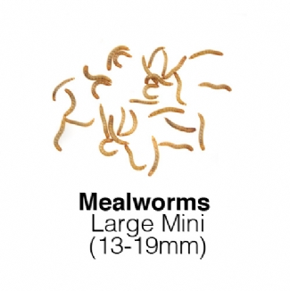 Large Mini Mealworms - MAXIPACK of 85g 13-19mm