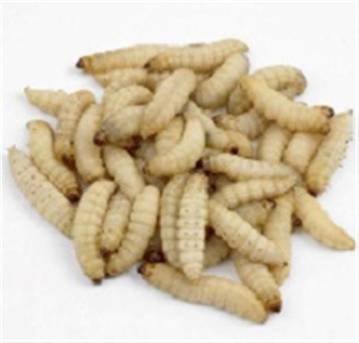 Waxworms - MAXIPACK of 80-100 15-25mm