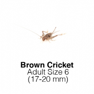 Banded Crickets Adult Sack of 500 Size 6 17-20mm