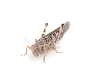 Locusts Adult  2 x Sacks of 100 Size 6 45-60mm