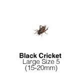 Black Crickets Large - MAXIPACK of 125 Size 5 15-20mm