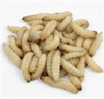 Waxworms - 3000 (12x 250)  (12x75g)- 15-25mm